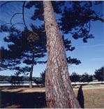 フランス海岸松:この松樹皮から松樹皮エキスを抽出