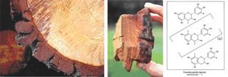 フランス海岸松、松樹皮:強い日差しと紫外線を受けて育つフランス海岸松は、自らを守るため、樹皮がこんなに厚くなる。